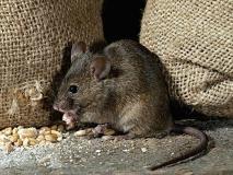 天津灭老鼠